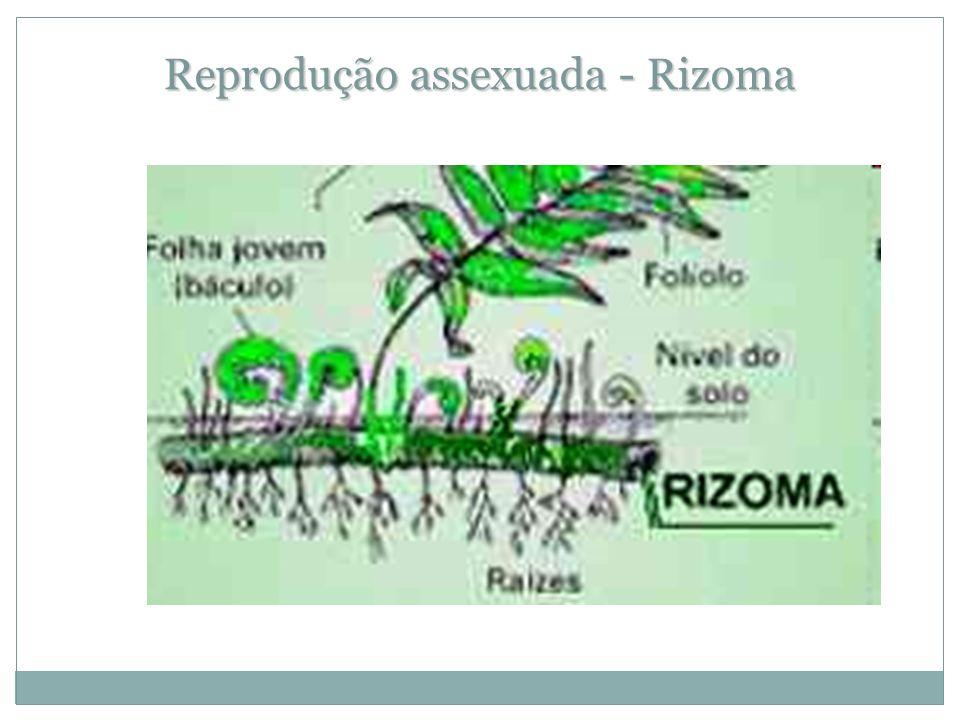 Reprodução assexuada - Rizoma