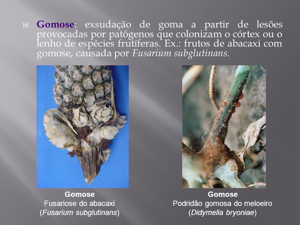Gomose : exsudação de goma a partir de lesões provocadas por patógenos que colonizam o córtex ou o lenho de espécies frutíferas. Ex.: frutos de abacax