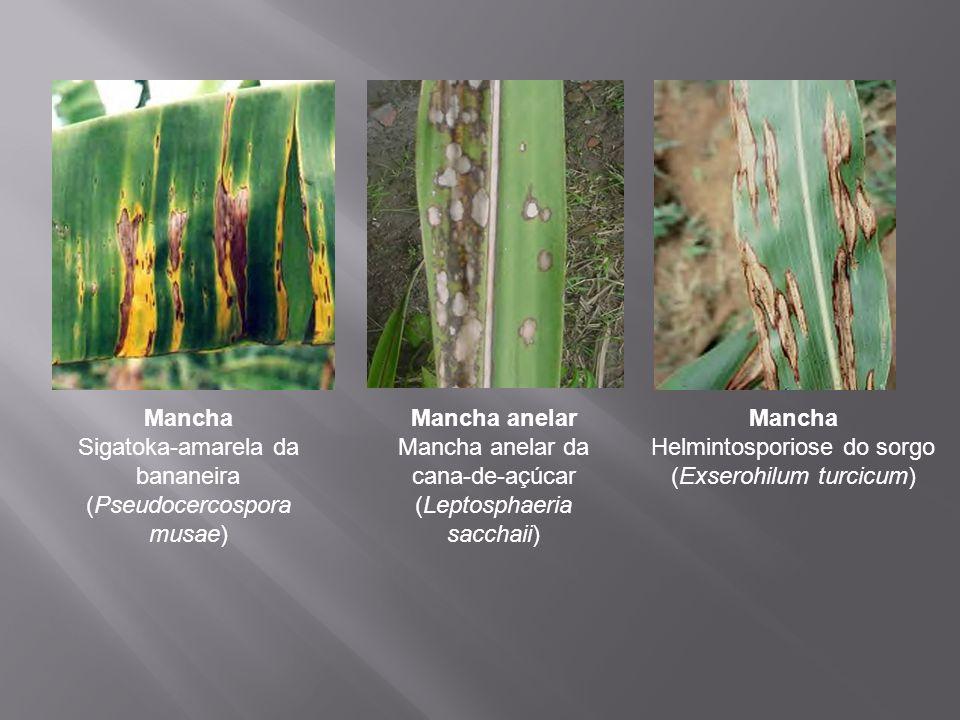Mancha Sigatoka-amarela da bananeira (Pseudocercospora musae) Mancha anelar Mancha anelar da cana-de-açúcar (Leptosphaeria sacchaii) Mancha Helmintosp