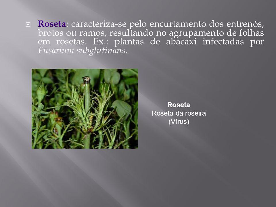 Roseta : caracteriza-se pelo encurtamento dos entrenós, brotos ou ramos, resultando no agrupamento de folhas em rosetas. Ex.: plantas de abacaxi infec