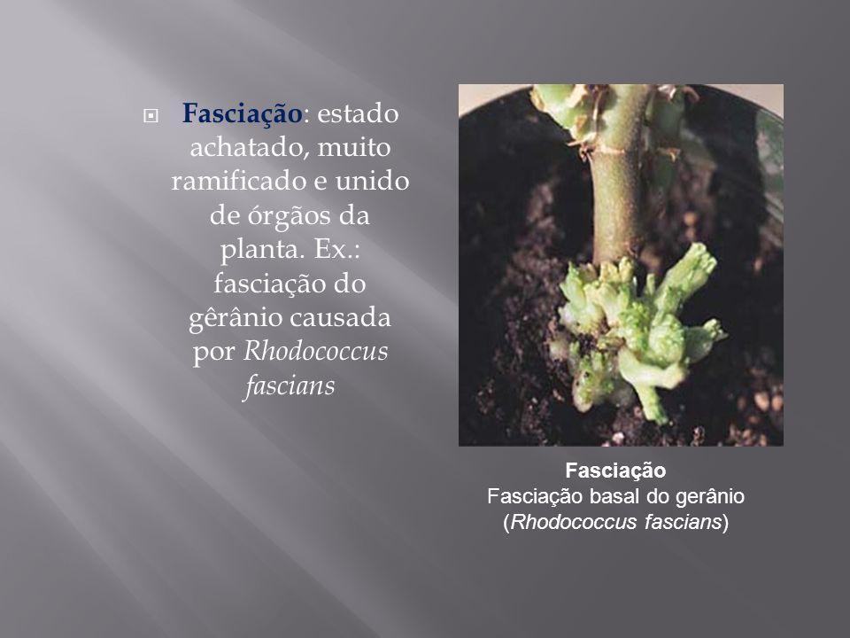 Fasciação : estado achatado, muito ramificado e unido de órgãos da planta. Ex.: fasciação do gêrânio causada por Rhodococcus fascians Fasciação Fascia