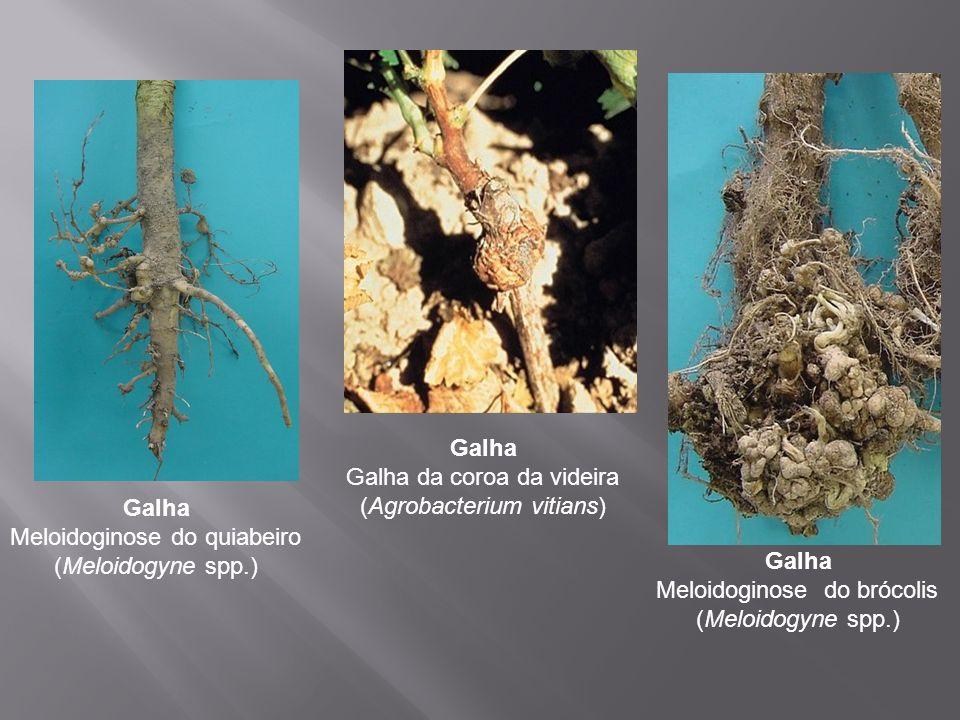 Galha Meloidoginose do quiabeiro (Meloidogyne spp.) Galha Galha da coroa da videira (Agrobacterium vitians) Galha Meloidoginose do brócolis (Meloidogy
