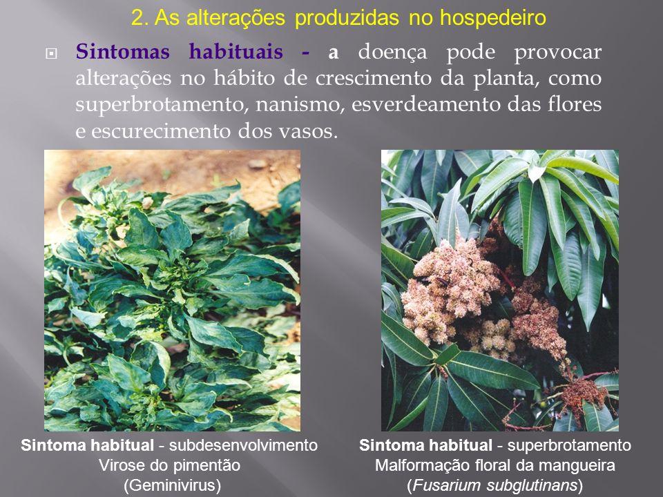 Sintomas habituais - a doença pode provocar alterações no hábito de crescimento da planta, como superbrotamento, nanismo, esverdeamento das flores e e