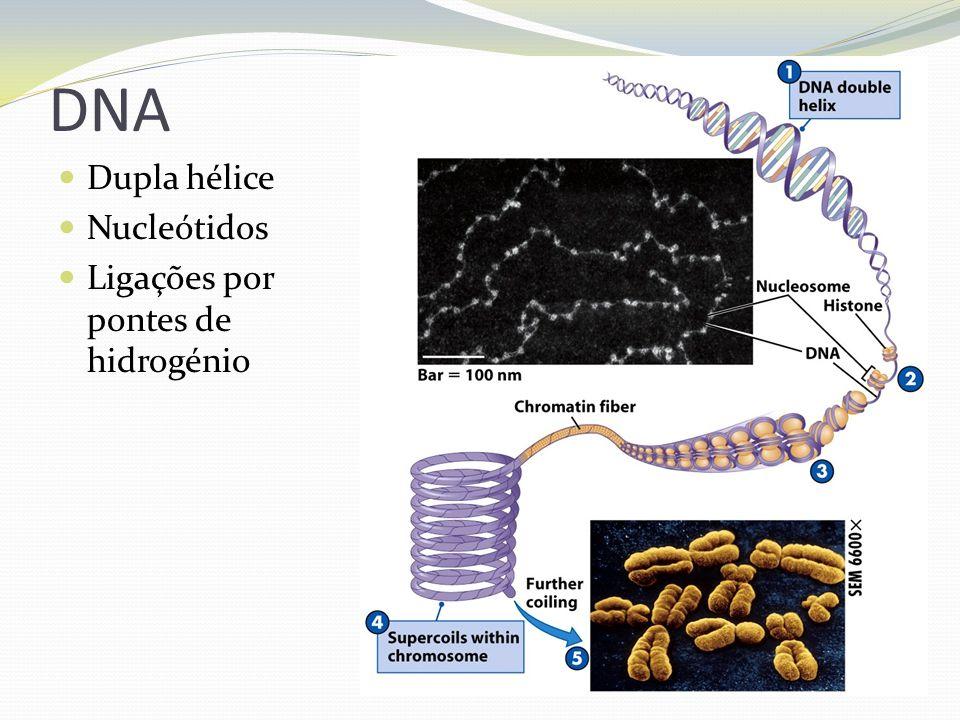 DNA Dupla hélice Nucleótidos Ligações por pontes de hidrogénio