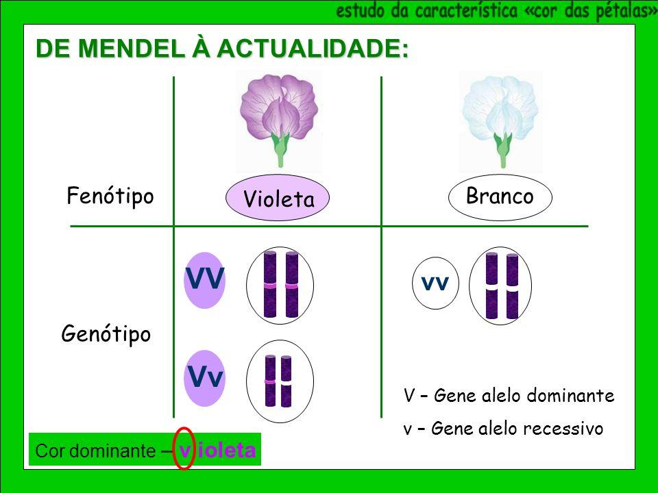 Violeta Branco Fenótipo Genótipo VV vv Vv V – Gene alelo dominante v – Gene alelo recessivo Cor dominante – v ioleta DE MENDEL À ACTUALIDADE: