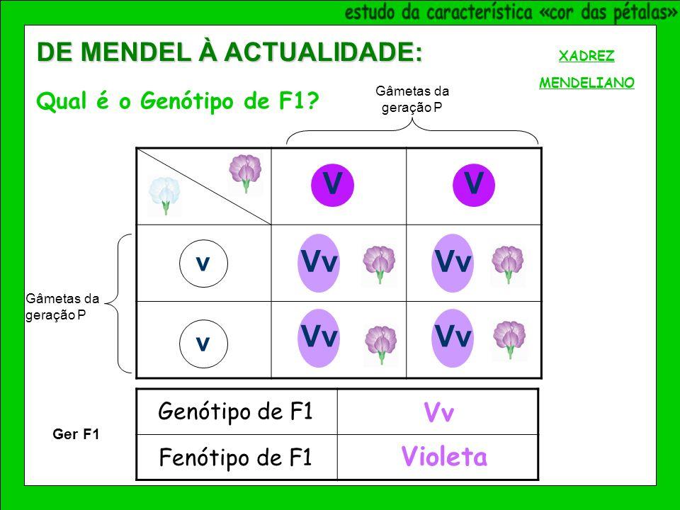V V v v Vv XADREZ MENDELIANO Vv Violeta Genótipo de F1 Fenótipo de F1 Ger F1 DE MENDEL À ACTUALIDADE: Qual é o Genótipo de F1.