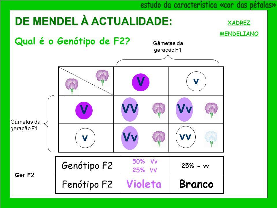V V v v Vv VVVv vv Genótipo F2 Fenótipo F2 VioletaBranco 50% Vv 25% VV 25% - vv Ger F2 XADREZ MENDELIANO DE MENDEL À ACTUALIDADE: Qual é o Genótipo de F2.