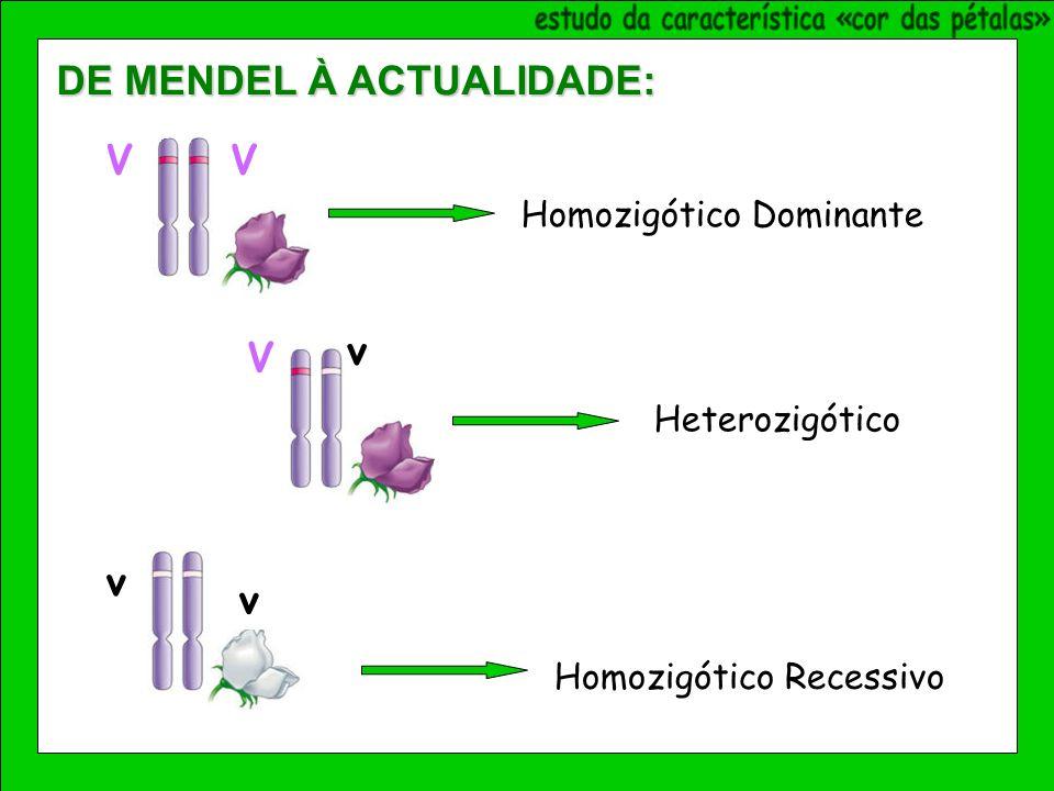 VV Homozigótico Dominante V v Heterozigótico Homozigótico Recessivo v v DE MENDEL À ACTUALIDADE: