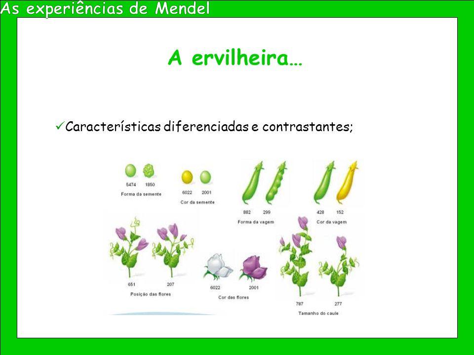 A ervilheira… Fácil cultivo; Rápido crescimento; Obtenção de várias gerações e elevado número de descendentes num curto intervalo de tempo;