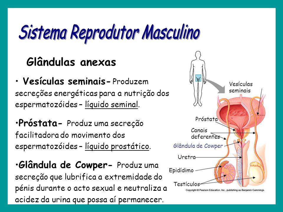 Vesículas seminais- Produzem secreções energéticas para a nutrição dos espermatozóides – líquido seminal. Próstata- Produz uma secreção facilitadora d