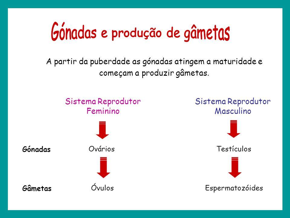 A partir da puberdade as gónadas atingem a maturidade e começam a produzir gâmetas. Sistema Reprodutor Feminino Ovários Óvulos Sistema Reprodutor Masc