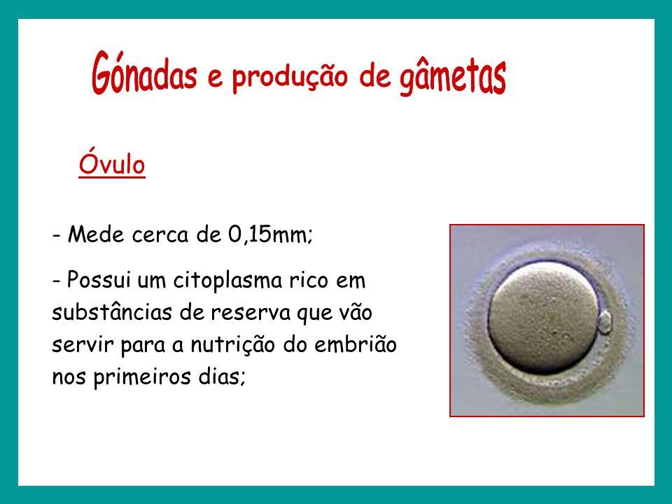 Óvulo - Mede cerca de 0,15mm; - Possui um citoplasma rico em substâncias de reserva que vão servir para a nutrição do embrião nos primeiros dias;