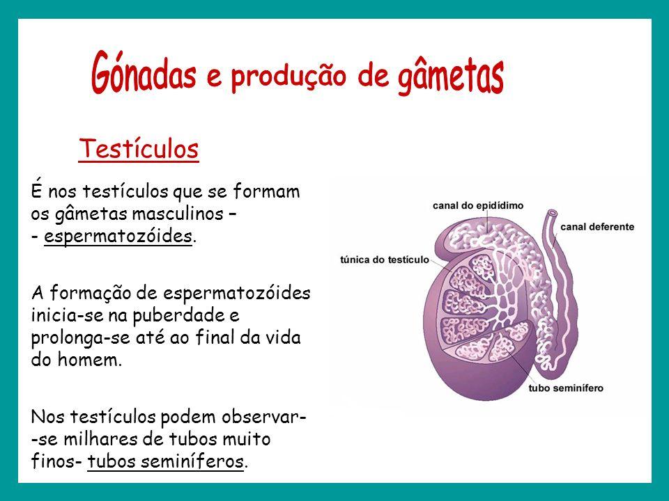 Testículos É nos testículos que se formam os gâmetas masculinos – - espermatozóides. A formação de espermatozóides inicia-se na puberdade e prolonga-s