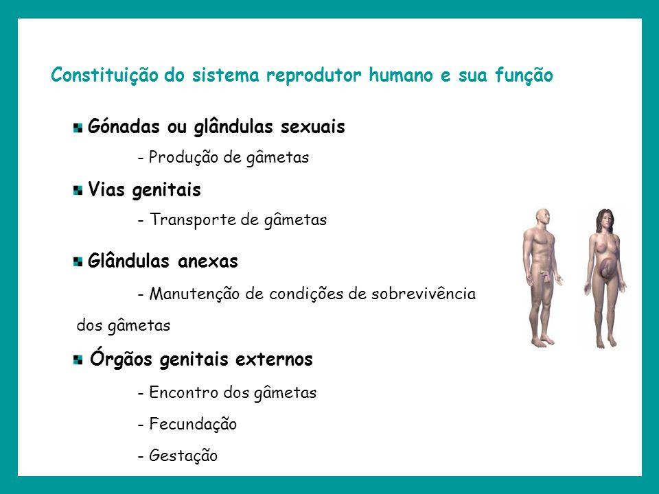 Constituição do sistema reprodutor humano e sua função Gónadas ou glândulas sexuais - Produção de gâmetas Vias genitais - Transporte de gâmetas Glându