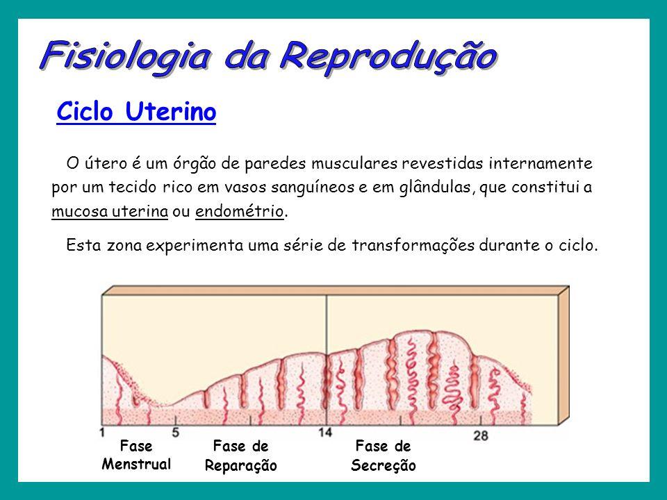 Ciclo Uterino O útero é um órgão de paredes musculares revestidas internamente por um tecido rico em vasos sanguíneos e em glândulas, que constitui a