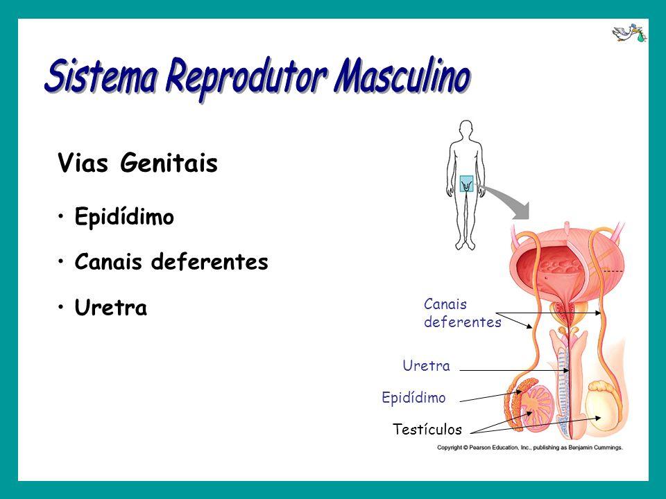 Epidídimo Canais deferentes Uretra Vias Genitais Epidídimo Canais deferentes Uretra