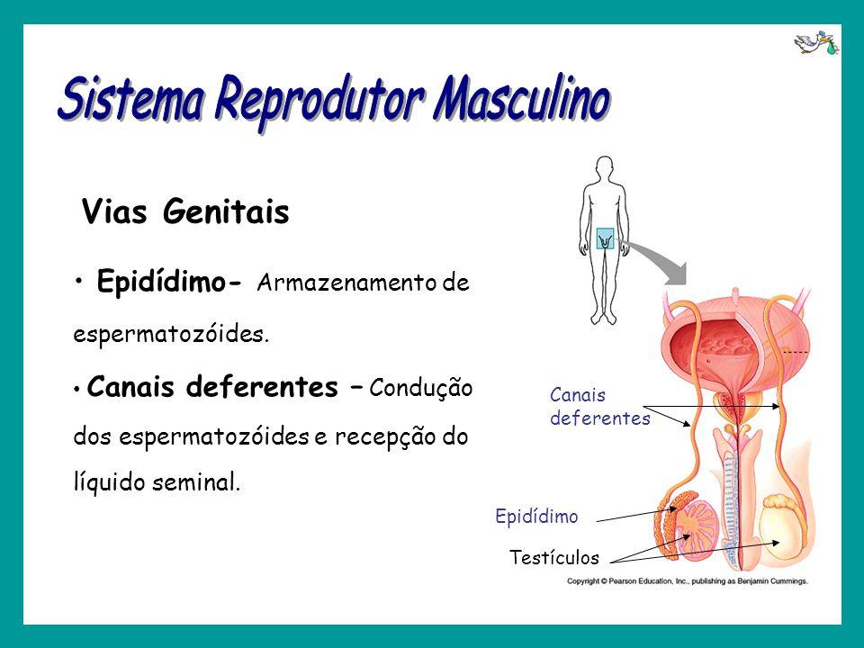 Vias Genitais Testículos Epidídimo Canais deferentes Epidídimo- Armazenamento de espermatozóides. Canais deferentes – Condução dos espermatozóides e r