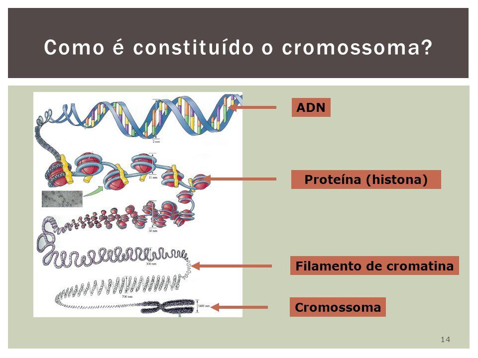 14 Como é constituído o cromossoma? ADN Proteína (histona) Filamento de cromatina Cromossoma