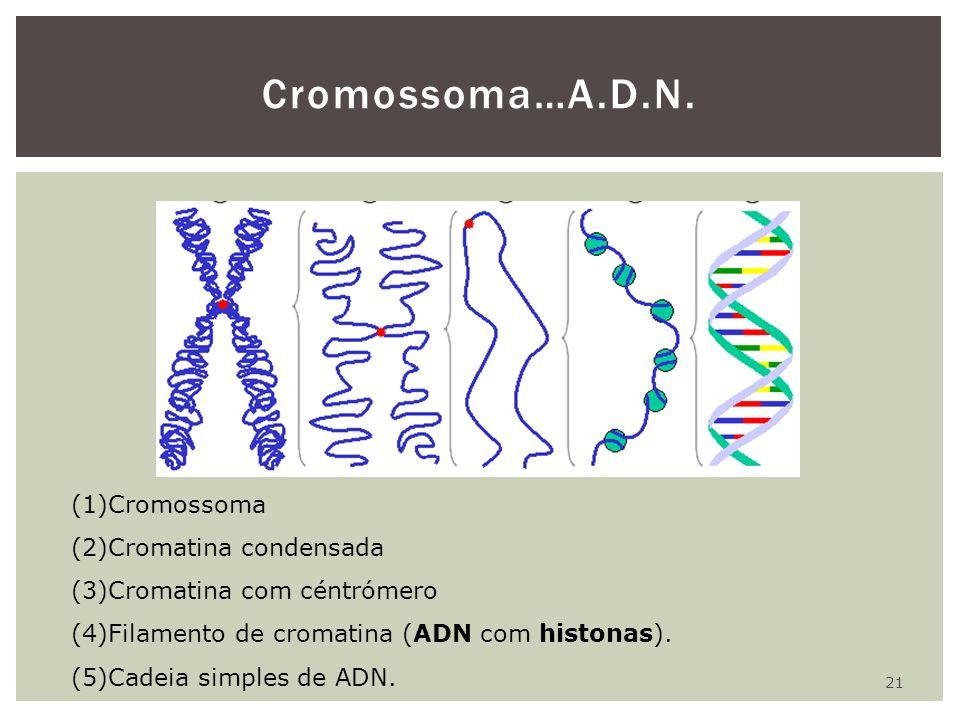 21 Cromossoma…A.D.N. (1)Cromossoma (2)Cromatina condensada (3)Cromatina com céntrómero (4)Filamento de cromatina (ADN com histonas). (5)Cadeia simples