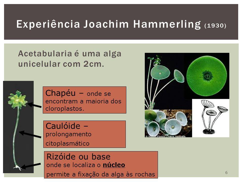Acetabularia é uma alga unicelular com 2cm. 6 Experiência Joachim Hammerling (1930) Rizóide ou base onde se localiza o núcleo permite a fixação da alg