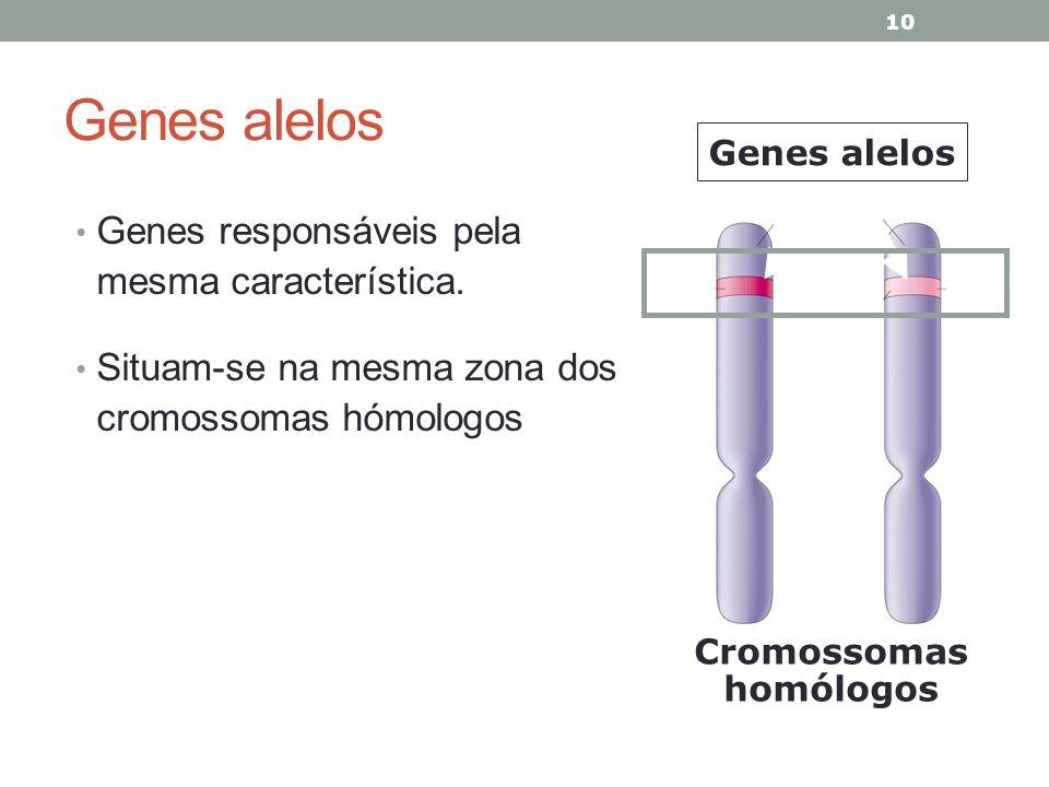 Genes alelos Genes responsáveis pela mesma característica. Situam-se na mesma zona dos cromossomas hómologos 10 Cromossomas homólogos Genes alelos