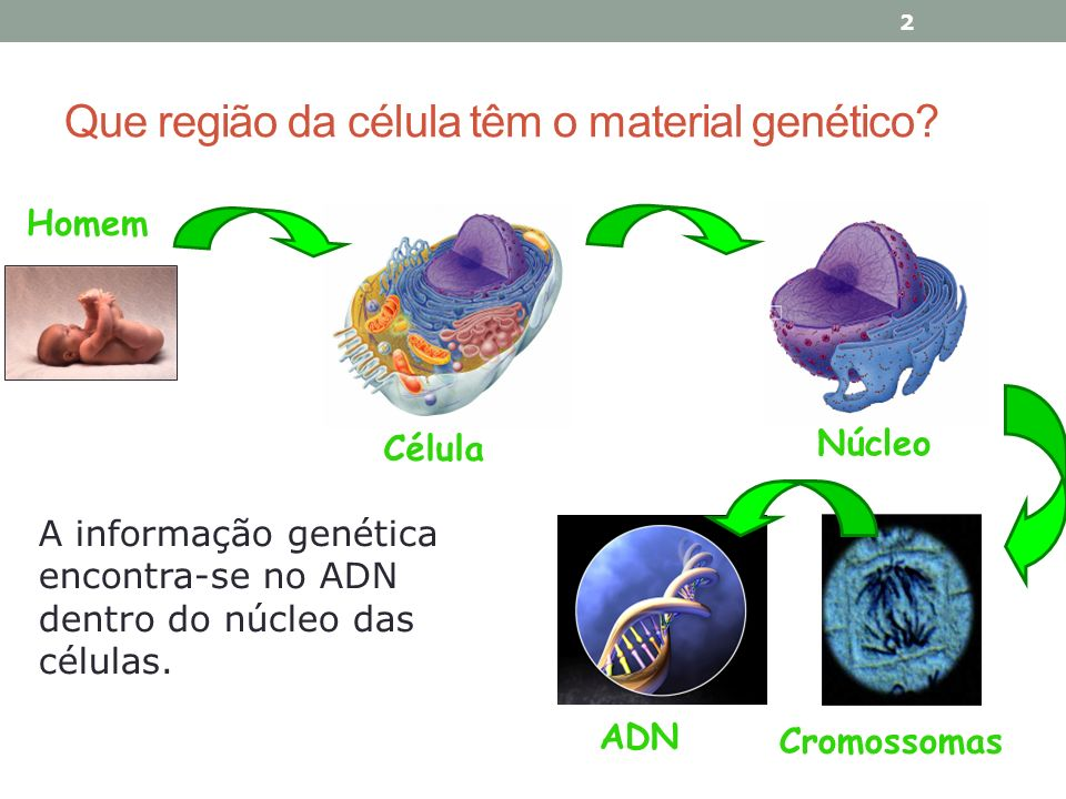 Que região da célula têm o material genético? 2 Célula Núcleo Cromossomas Homem ADN A informação genética encontra-se no ADN dentro do núcleo das célu