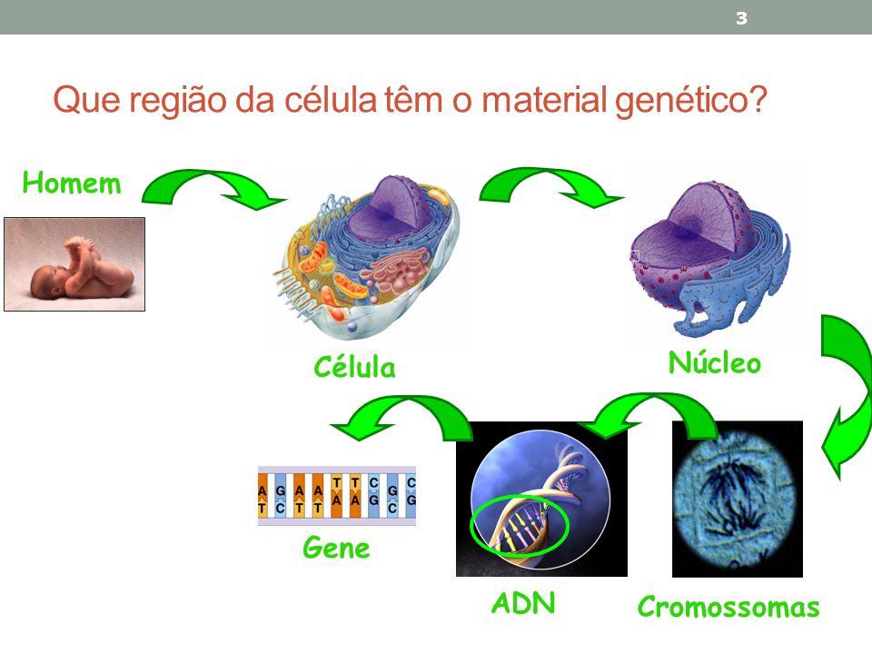 Que região da célula têm o material genético? 3 Célula Núcleo Cromossomas Homem ADN Gene