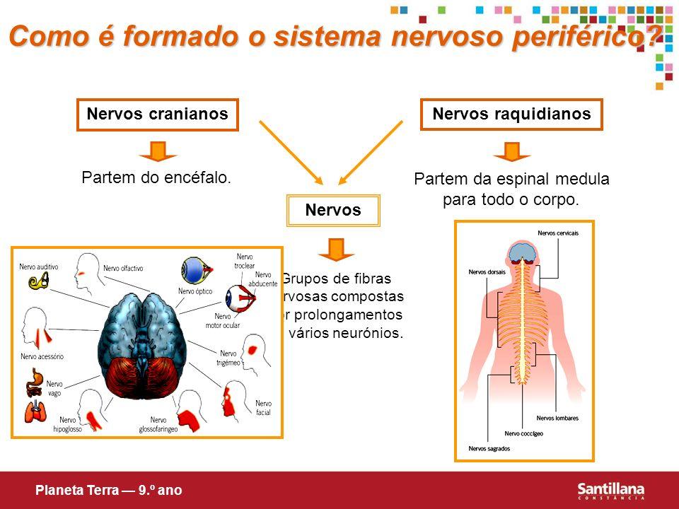 Como é formado o sistema nervoso periférico? Nervos cranianos Nervos raquidianos Partem do encéfalo. Partem da espinal medula para todo o corpo. Nervo
