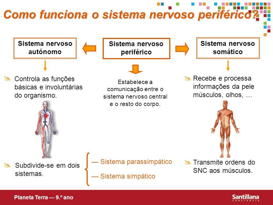 Sistema nervoso periférico Estabelece a comunicação entre o sistema nervoso central e o resto do corpo. Sistema nervoso somático Recebe e processa inf