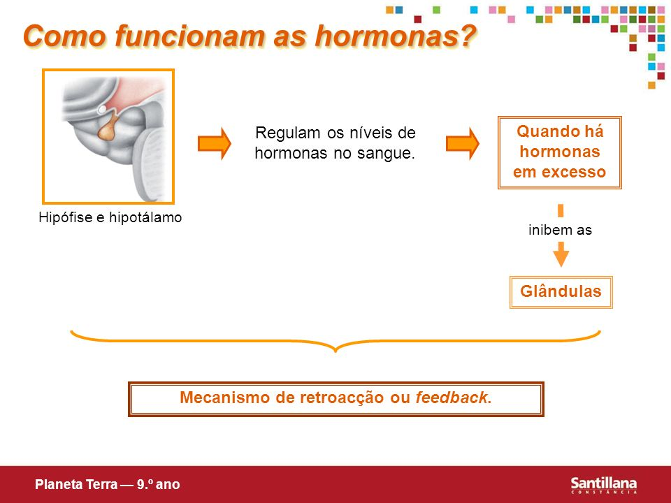 Hipófise e hipotálamo Regulam os níveis de hormonas no sangue. Quando há hormonas em excesso inibem as Glândulas Mecanismo de retroacção ou feedback.