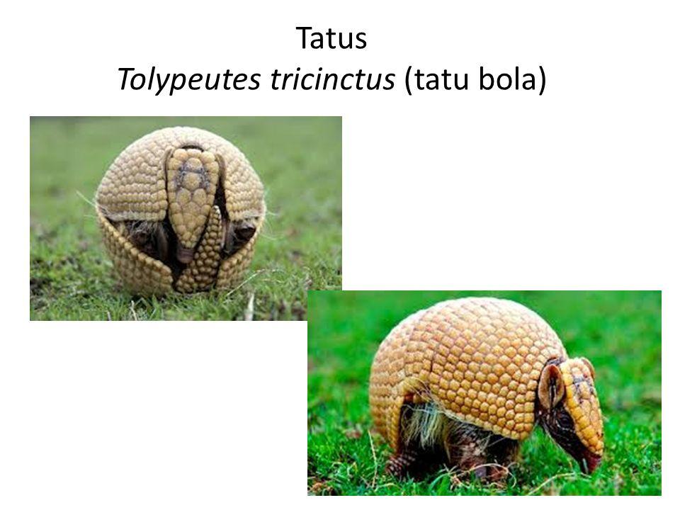 Tatus Tolypeutes tricinctus (tatu bola)