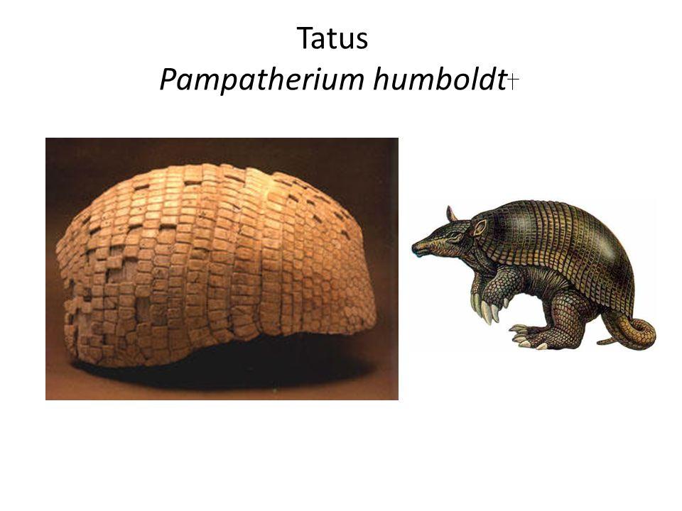 Tatus Pampatherium humboldt