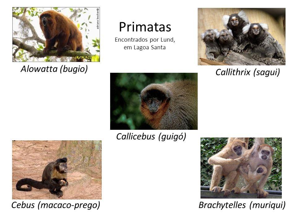 Primatas Encontrados por Lund, em Lagoa Santa Alowatta (bugio) Cebus (macaco-prego)Brachytelles (muriqui) Callicebus (guigó) Callithrix (sagui)
