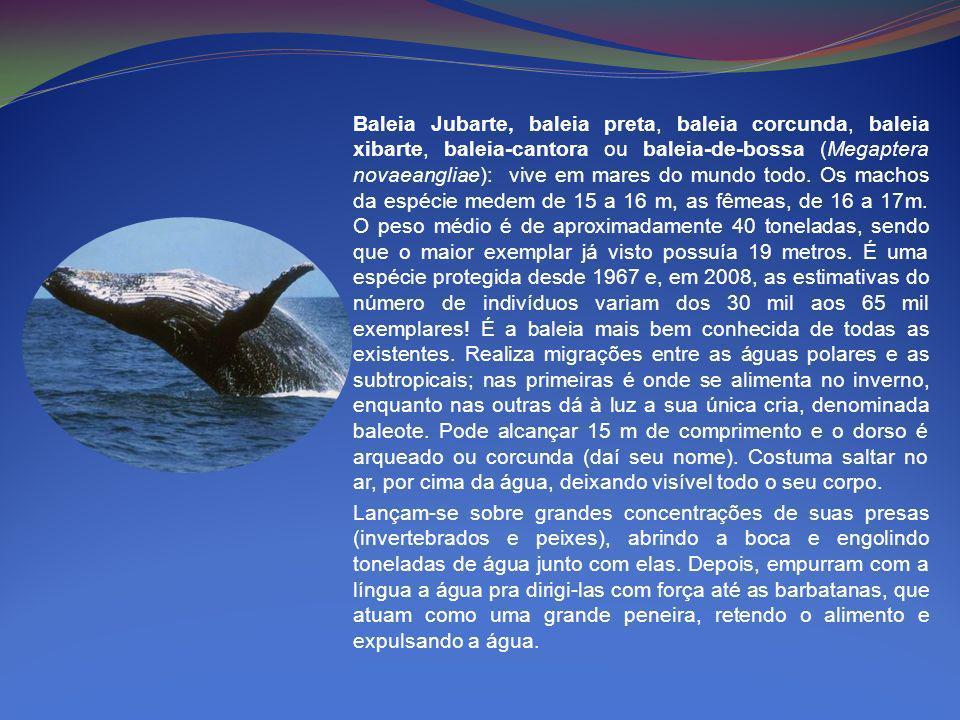 Baleia Jubarte, baleia preta, baleia corcunda, baleia xibarte, baleia-cantora ou baleia-de-bossa (Megaptera novaeangliae): vive em mares do mundo todo