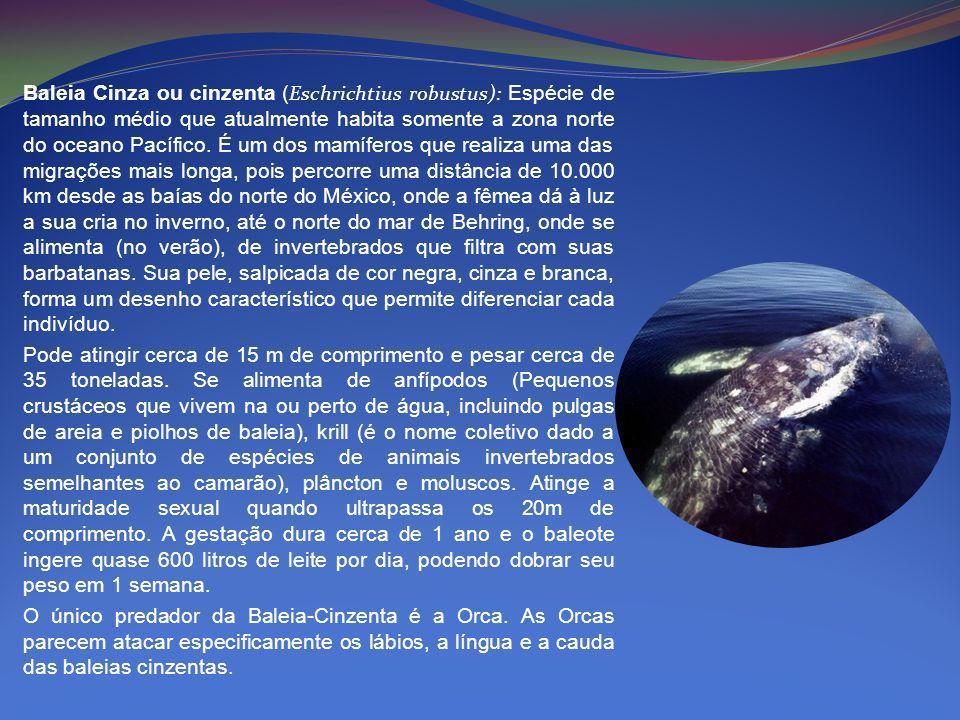 Baleia Cinza ou cinzenta ( Eschrichtius robustus): Espécie de tamanho médio que atualmente habita somente a zona norte do oceano Pacífico. É um dos ma