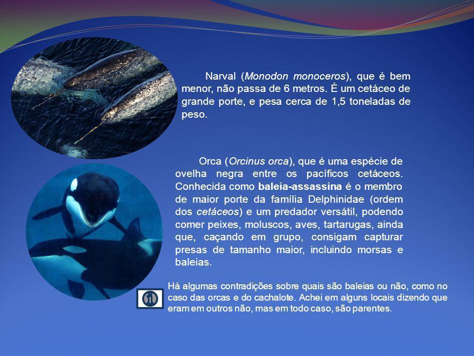 Narval (Monodon monoceros), que é bem menor, não passa de 6 metros. É um cetáceo de grande porte, e pesa cerca de 1,5 toneladas de peso. Orca (Orcinus
