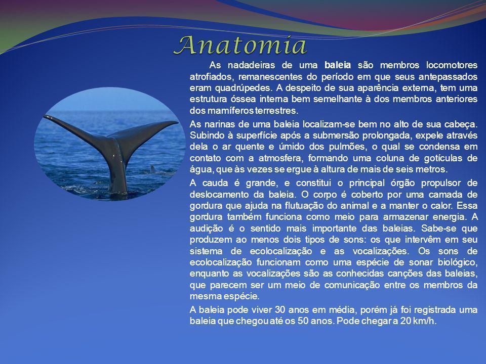 As nadadeiras de uma baleia são membros locomotores atrofiados, remanescentes do período em que seus antepassados eram quadrúpedes. A despeito de sua