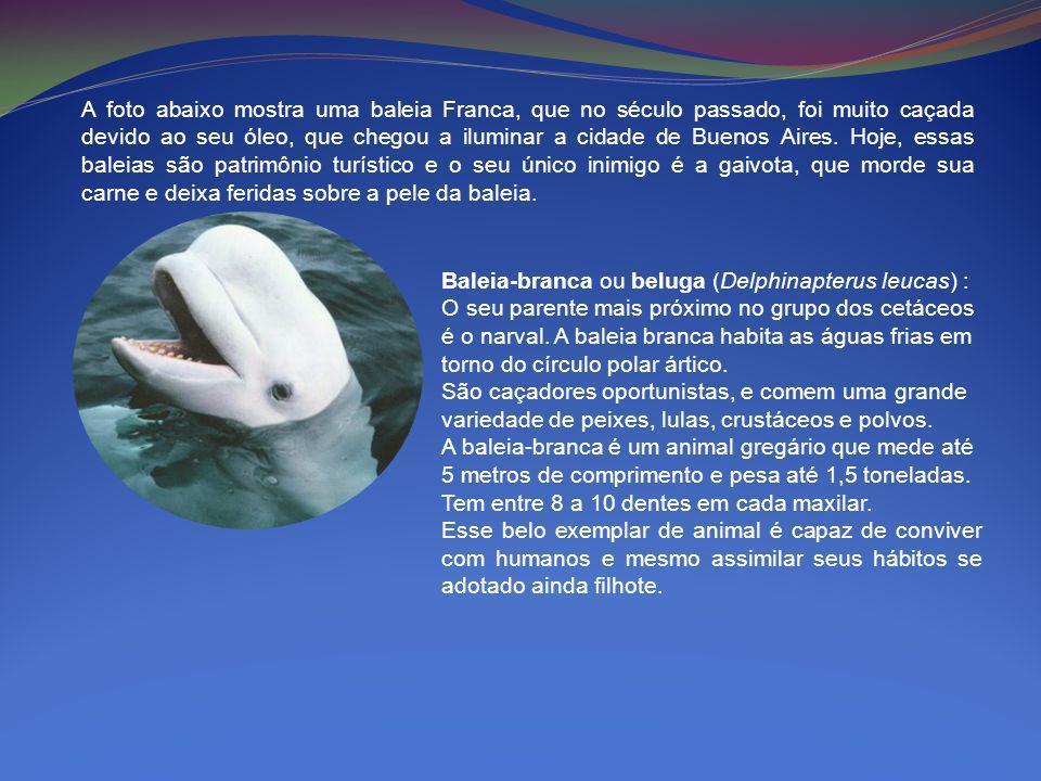 A foto abaixo mostra uma baleia Franca, que no século passado, foi muito caçada devido ao seu óleo, que chegou a iluminar a cidade de Buenos Aires. Ho