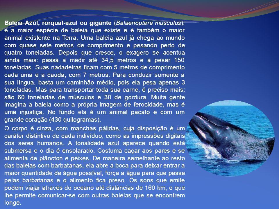 Baleia Azul, rorqual-azul ou gigante (Balaenoptera musculus): é a maior espécie de baleia que existe e é também o maior animal existente na Terra. Uma