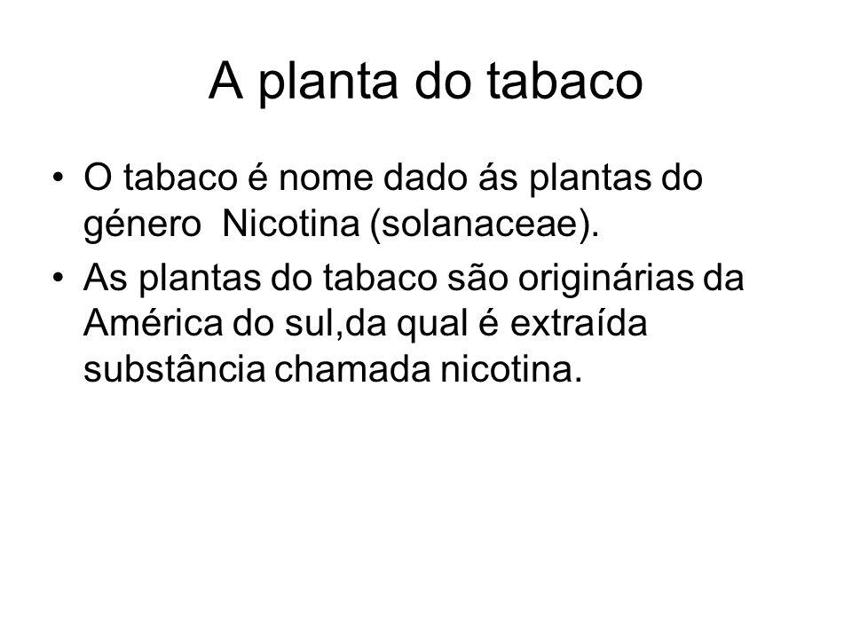 A planta do tabaco O tabaco é nome dado ás plantas do género Nicotina (solanaceae). As plantas do tabaco são originárias da América do sul,da qual é e
