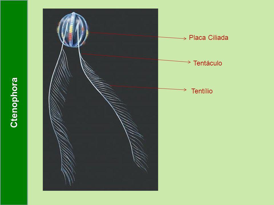 Tentílio Tentáculo Placa Ciliada Ctenophora