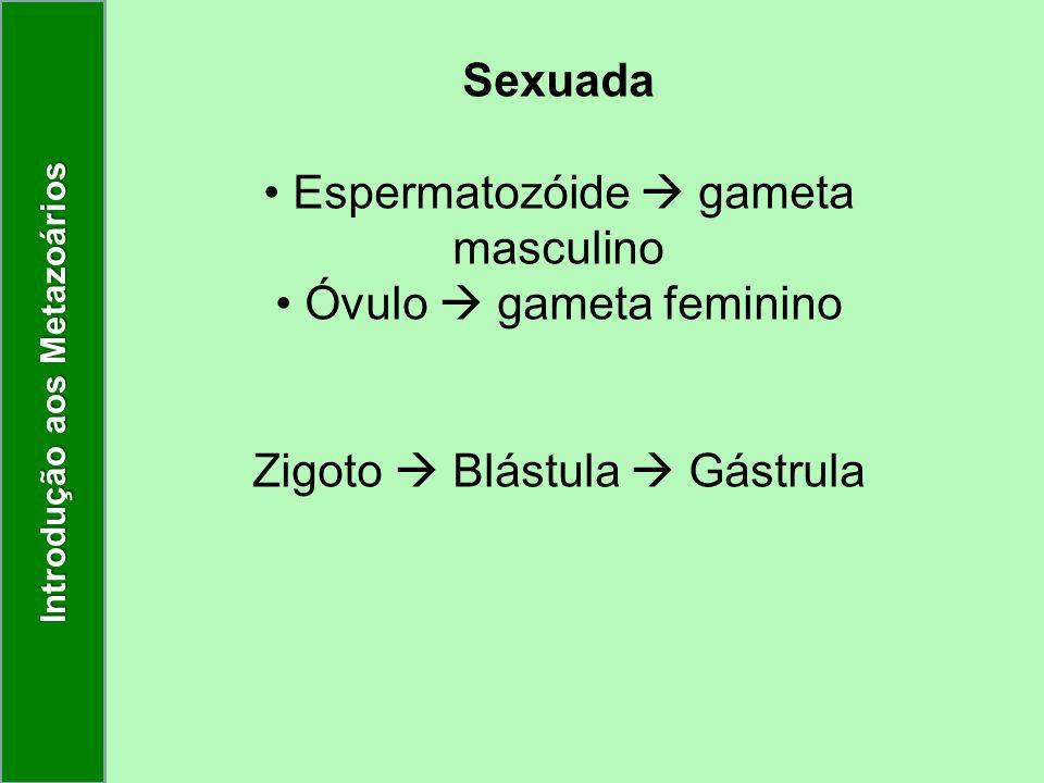Sexuada Espermatozóide gameta masculino Óvulo gameta feminino Zigoto Blástula Gástrula Introdução aos Metazoários