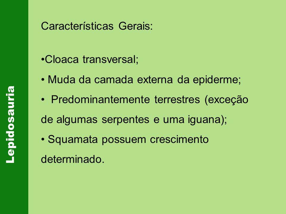 Lepidosauria Características Gerais: Cloaca transversal; Muda da camada externa da epiderme; Predominantemente terrestres (exceção de algumas serpente