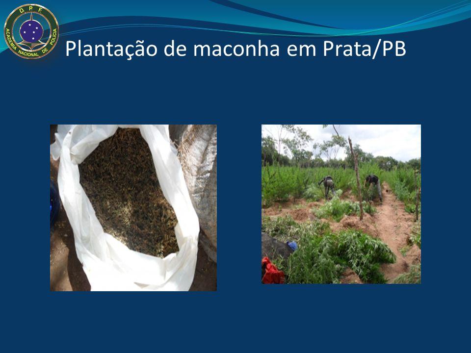 Droga ilegal mais consumida no Brasil: Incineração plantio de maconha