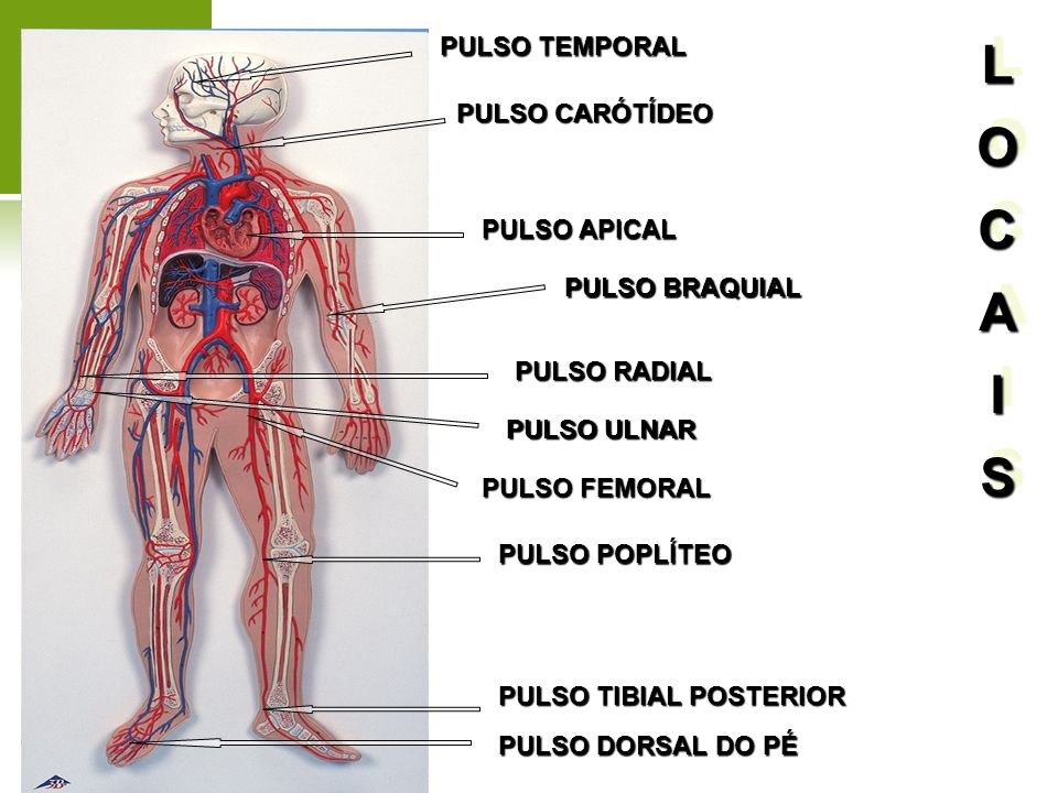 PULSO CARÓTÍDEO PULSO FEMORAL PULSO TEMPORAL PULSO POPLÍTEO PULSO RADIAL PULSO BRAQUIAL PULSO APICAL PULSO TIBIAL POSTERIOR PULSO ULNAR PULSO DORSAL D