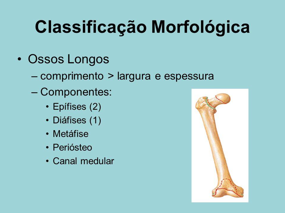 Classificação Morfológica Ossos Longos –comprimento > largura e espessura –Componentes: Epífises (2) Diáfises (1) Metáfise Periósteo Canal medular