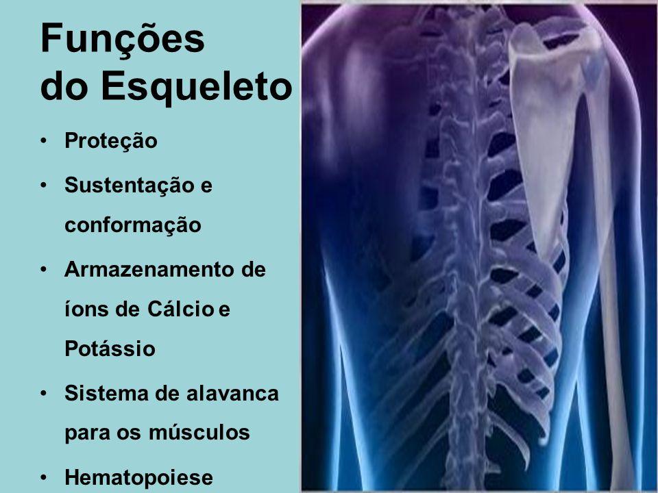 Funções do Esqueleto Proteção Sustentação e conformação Armazenamento de íons de Cálcio e Potássio Sistema de alavanca para os músculos Hematopoiese