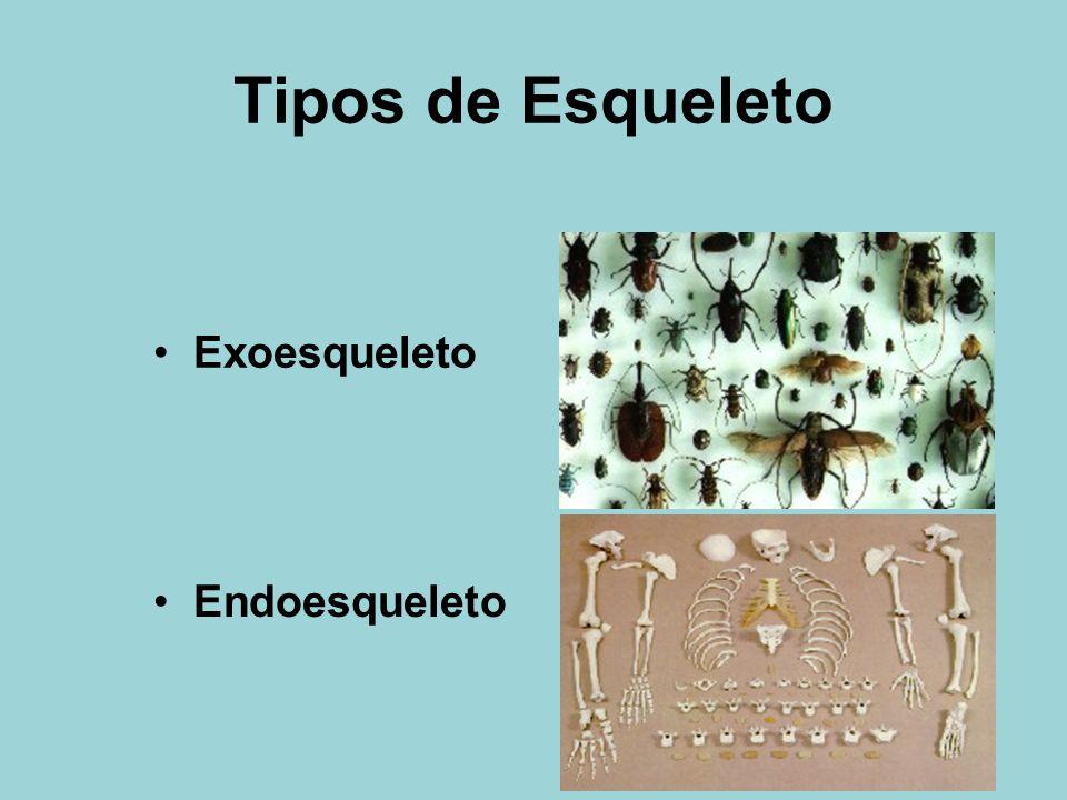 Tipos de Esqueleto Exoesqueleto Endoesqueleto