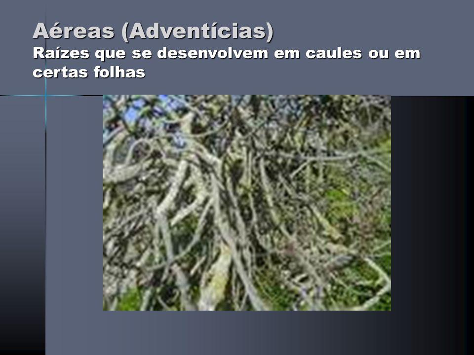 SUGADORA (EXTRAEM ALIMENTO DE PLANTAS HOSPEDEIRAS) ESTRANGULADORA (MATA OUTROS VEGETAIS ESTRANGULANDO-OS)
