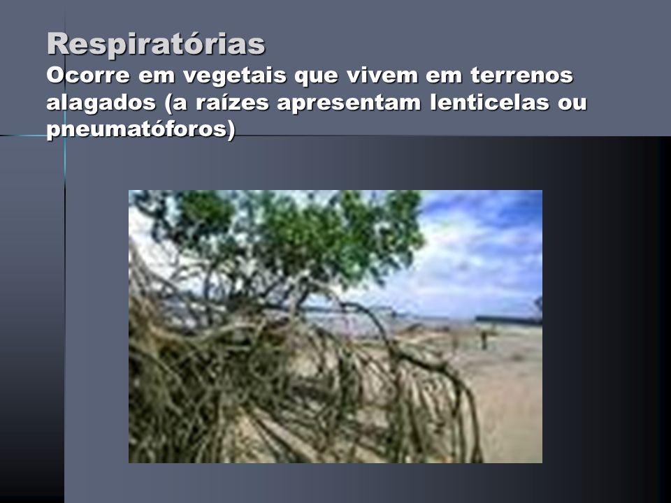 Aéreas (Adventícias) Raízes que se desenvolvem em caules ou em certas folhas